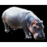 Hippopotamus Picture PNG Image - PNG Hippopotamus