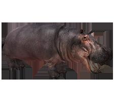 Hippopotamus.png - PNG Hippopotamus