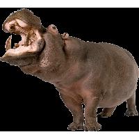 Hippopotamus Png PNG Image - PNG Hippopotamus