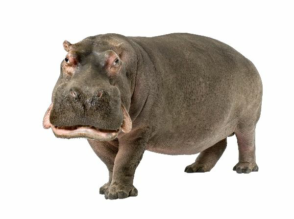 Hippopotamus ringtone - PNG Hippopotamus