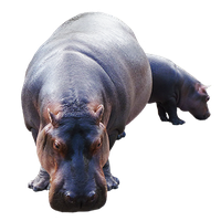 Hippopotamus Transparent PNG Image - PNG Hippopotamus