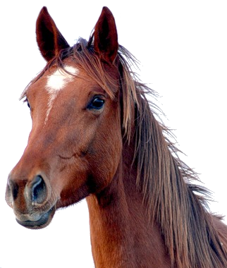 Horse png image - PNG Horse Head