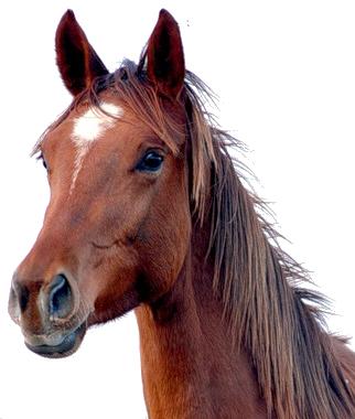 PNG Horse Head - 53285