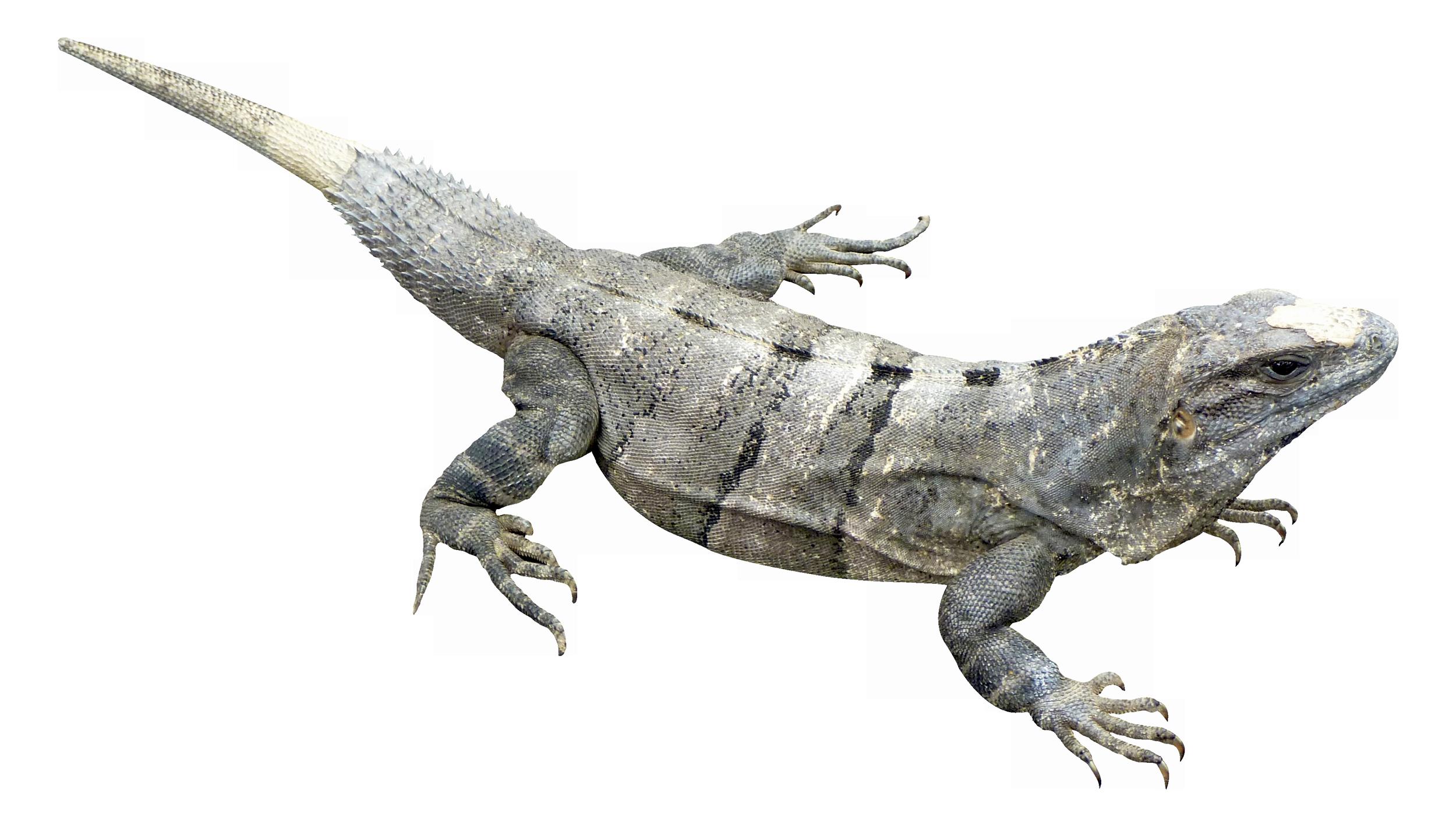 PNG Iguana - 47168