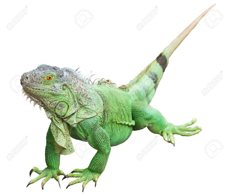 PNG Iguana - 47177