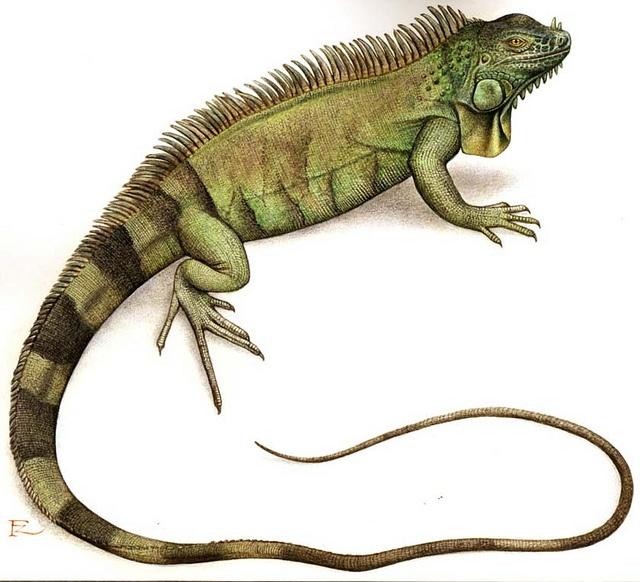 PNG Iguana - 47172