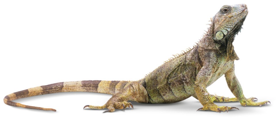 PNG Iguana - 47179