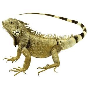 PNG Iguana - 47170