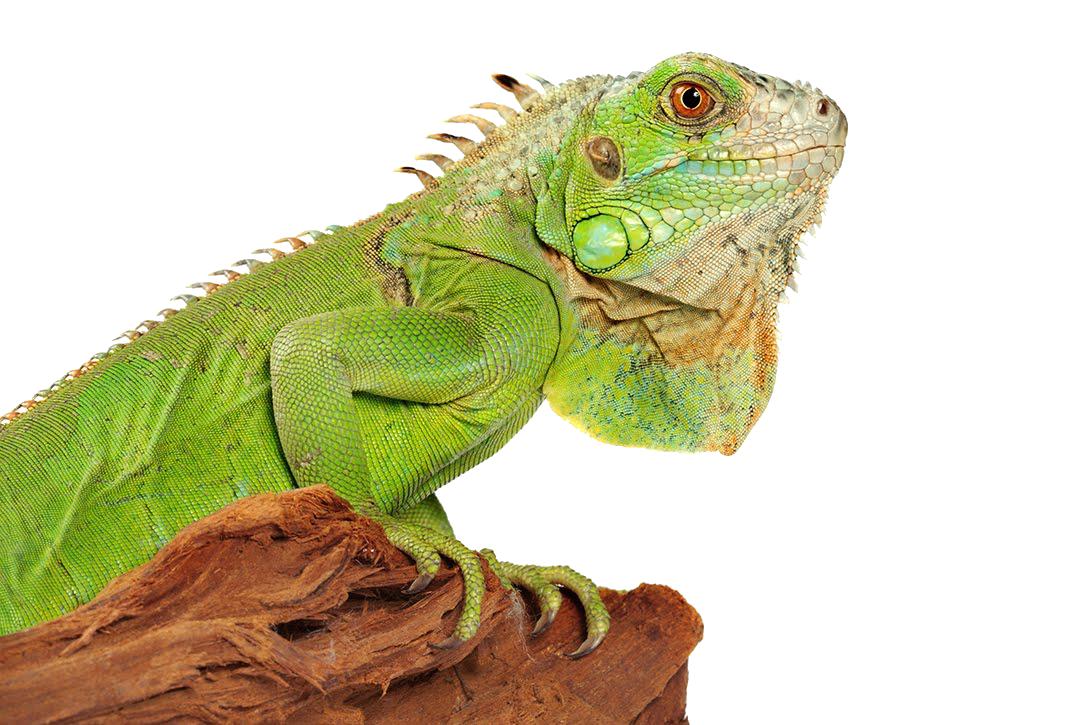PNG Iguana - 47165