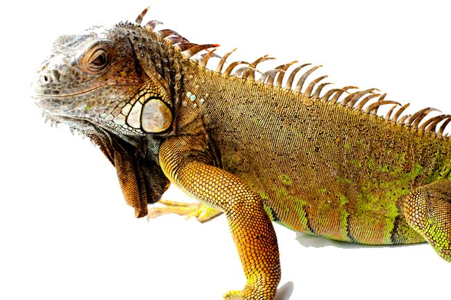 PNG Iguana - 47178