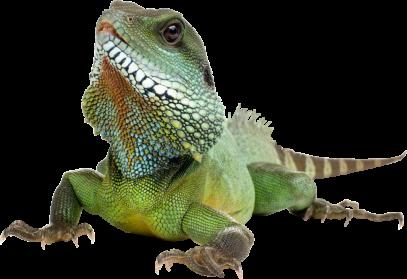 PNG Iguana - 47169