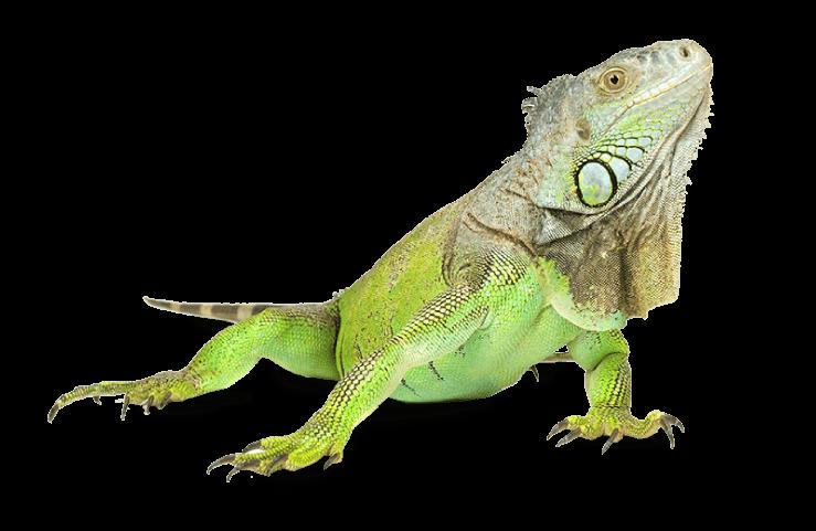 PNG Iguana - 47167