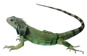 PNG Iguana - 47180