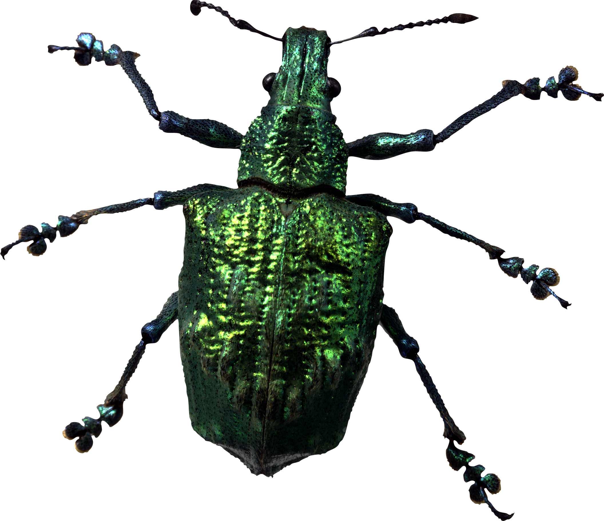 bugs are insects The true bugs have hemielytra, not elytra the forewings of bugs are only hard for part of their length instead of the entire length the upper part is thick and leathery and the lower part is membranous, about the same texture as the hind wings underneath.