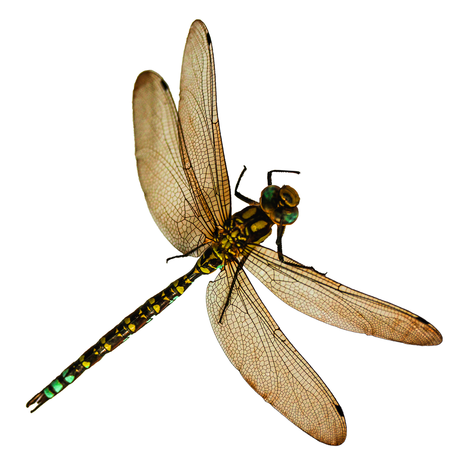 Dragonfly PNG Image - PNG Insects