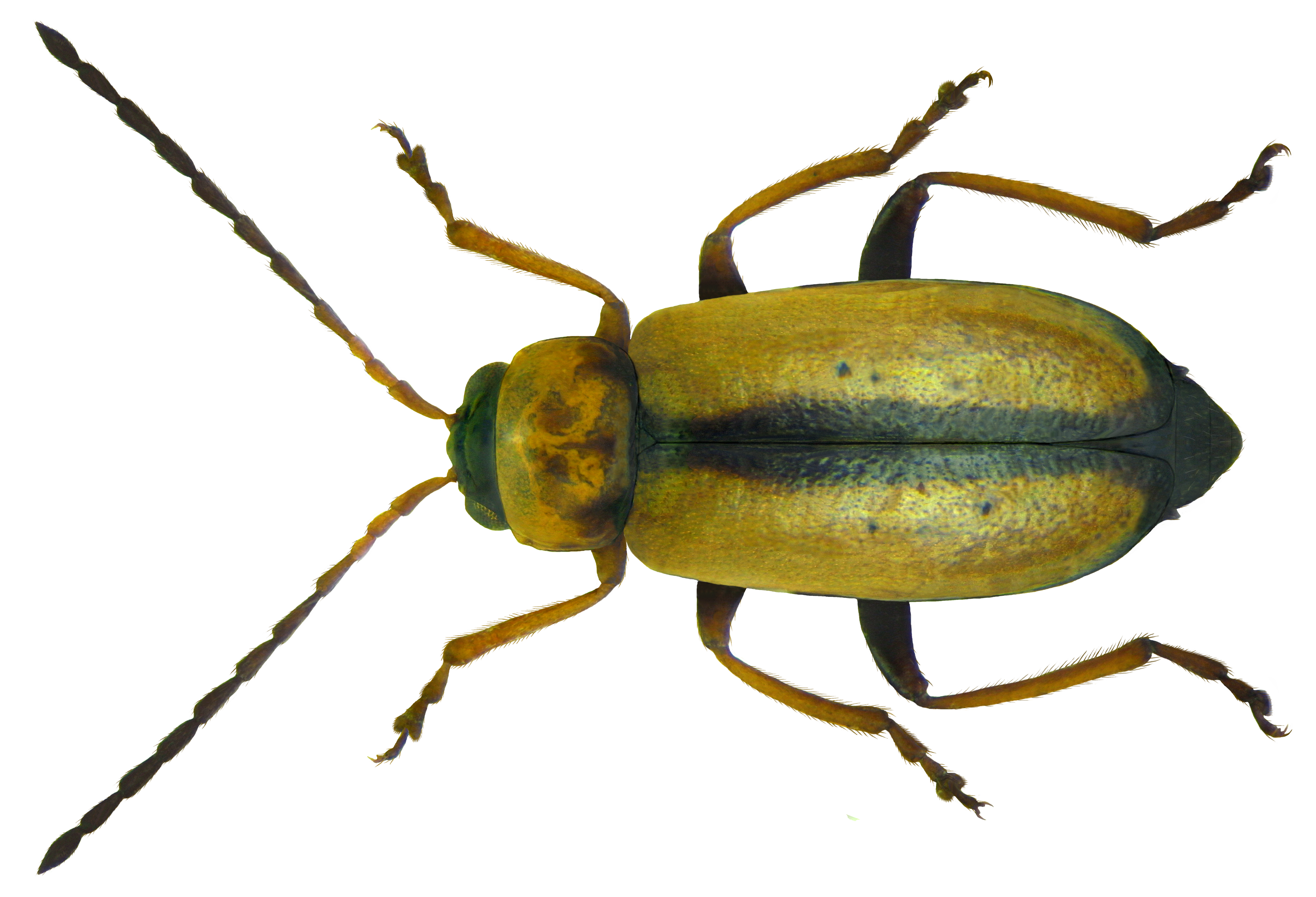 File:Calomicrus circumfusus (Marsham, 1802).png - PNG Insects
