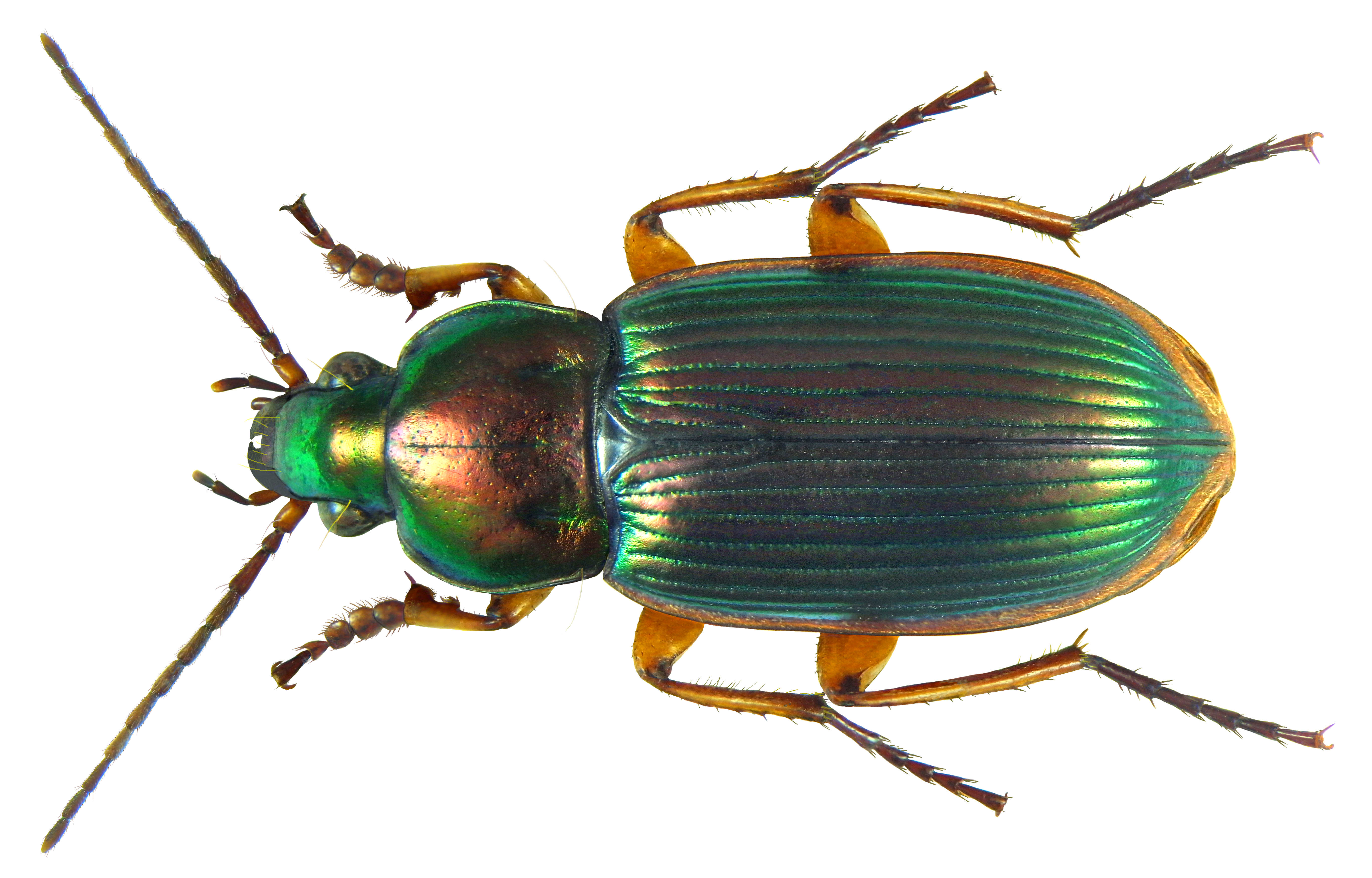 PNG Insects - 52496