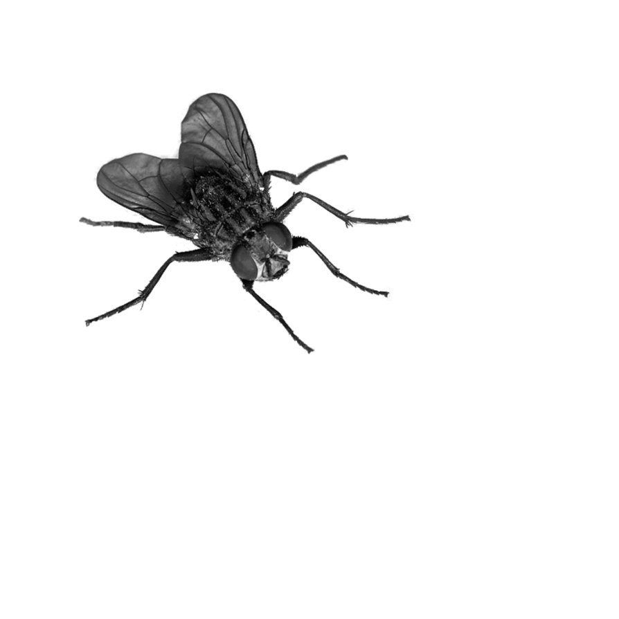 fly PNG image - PNG Insects