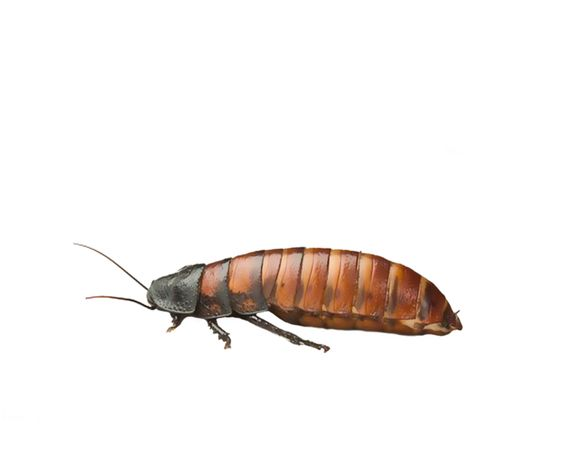 PNG Insects - 52492