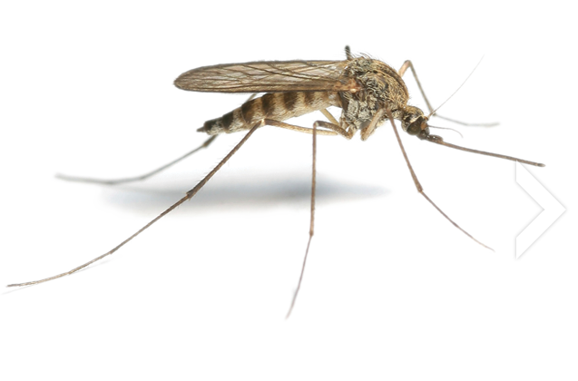 Mosquito · Roach PNG