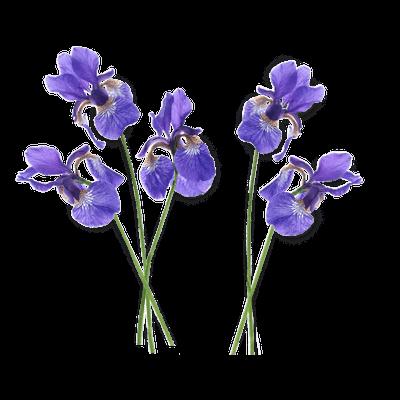 PNG Iris - 70163