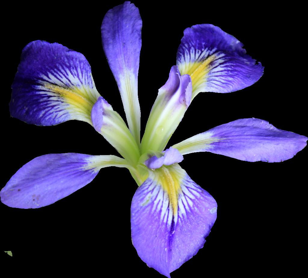 PNG Iris - 70152