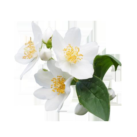 Jasmine - PNG Jasmine Flower