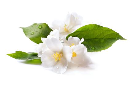 PNG Jasmine Flower - 68486