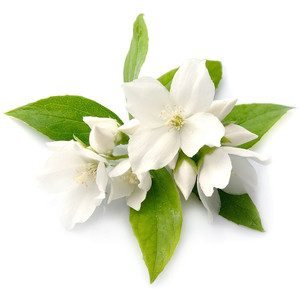 Jasmine Flower Infusion - PNG Jasmine Flower