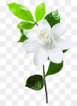 PNG Jasmine Flower - 68482
