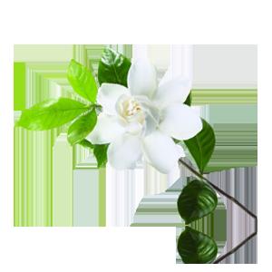 PNG Jasmine Flower - 68489