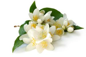 jasmine flowers - PNG Jasmine Flower