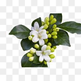 PNG Jasmine Flower - 68492