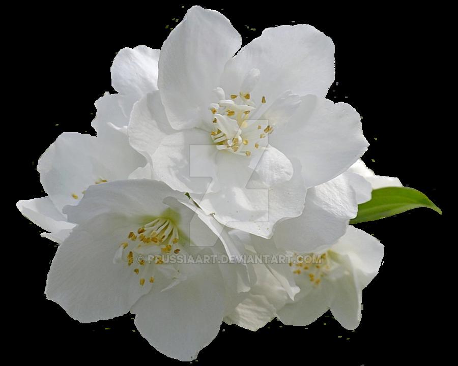 PNG Jasmine Flower - 68494