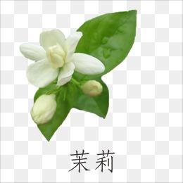 PNG Jasmine Flower - 68493