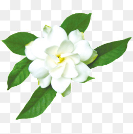 PNG Jasmine Flower - 68483