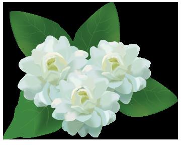 Logo - PNG Jasmine Flower