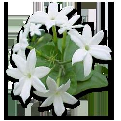 Mogra Flower PNG-PlusPNG pluspng.com-250 - PNG Jasmine Flower