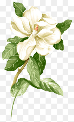 Painted white jasmine picture material, Jasmine, Flower, Flowers PNG Image - PNG Jasmine Flower