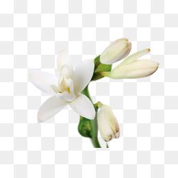 White jasmine flowers, Bud, Petal, Jasmine PNG Image - PNG Jasmine Flower
