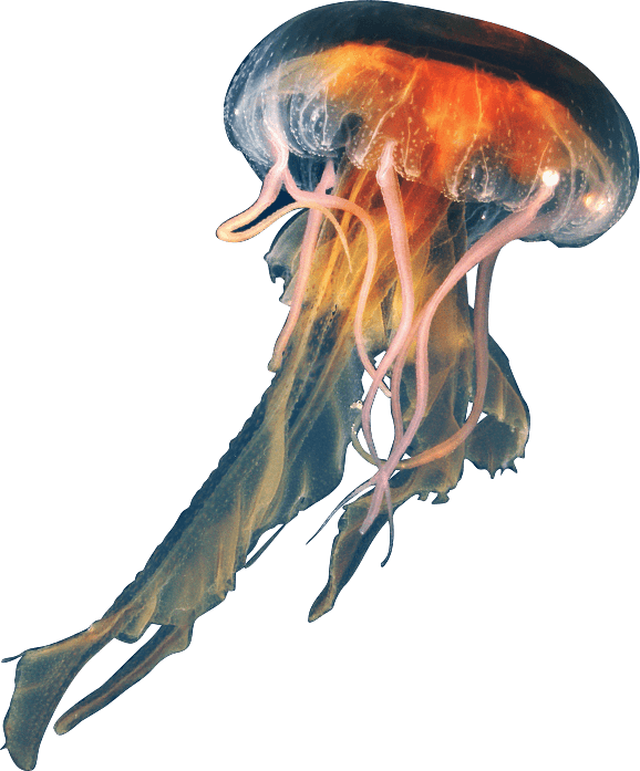 PNG Jellyfish - 48987