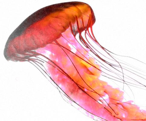 PNG Jellyfish - 48994