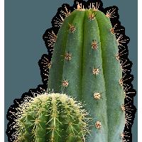PNG Kaktus - 51744