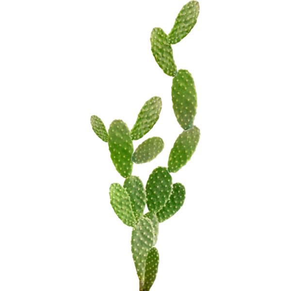 PNG Kaktus - 51759