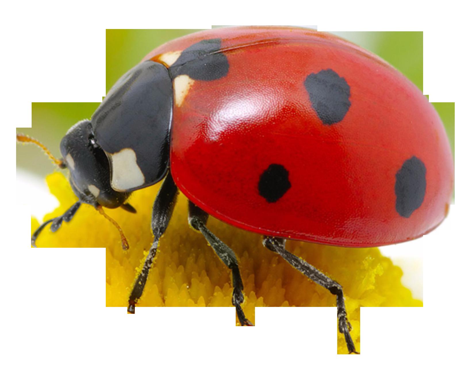 PNG Ladybird-PlusPNG.com-1656 - PNG Ladybird