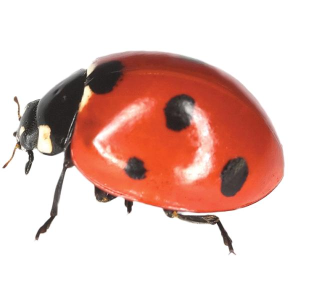 _5450712_xl_ladybird2 - PNG Ladybird