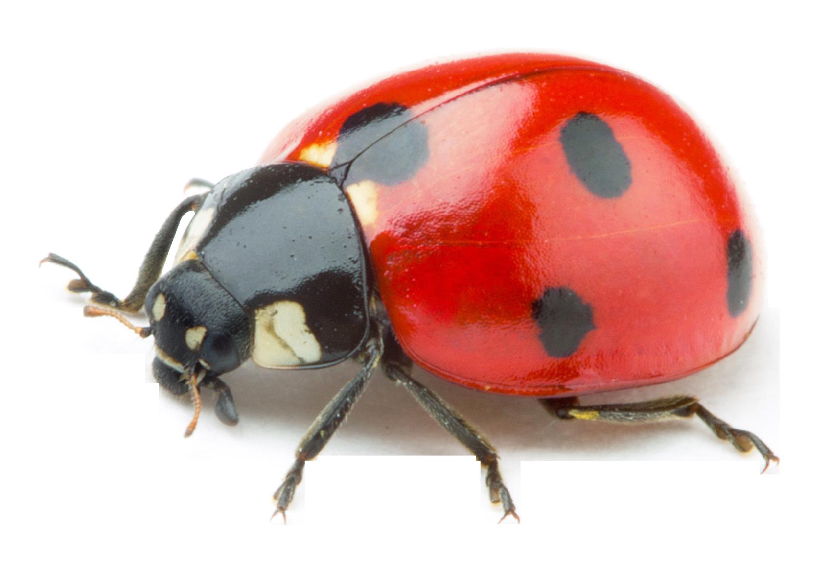 Ladybug PNG Transparent Image - PNG Ladybird
