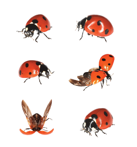 The 7-spot Has Been Familiar To Farmers And Gardeners Throughout History As  A Brightly-coloured Guardian Against Greenfly, And Itu0027s From This That  Ladybirds PlusPng.com  - PNG Ladybird