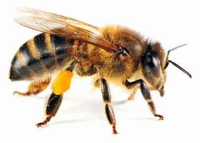 0 Lebah Inspirasikan Sinar Matahari jadikan Energi Sel Surya - PNG Lebah