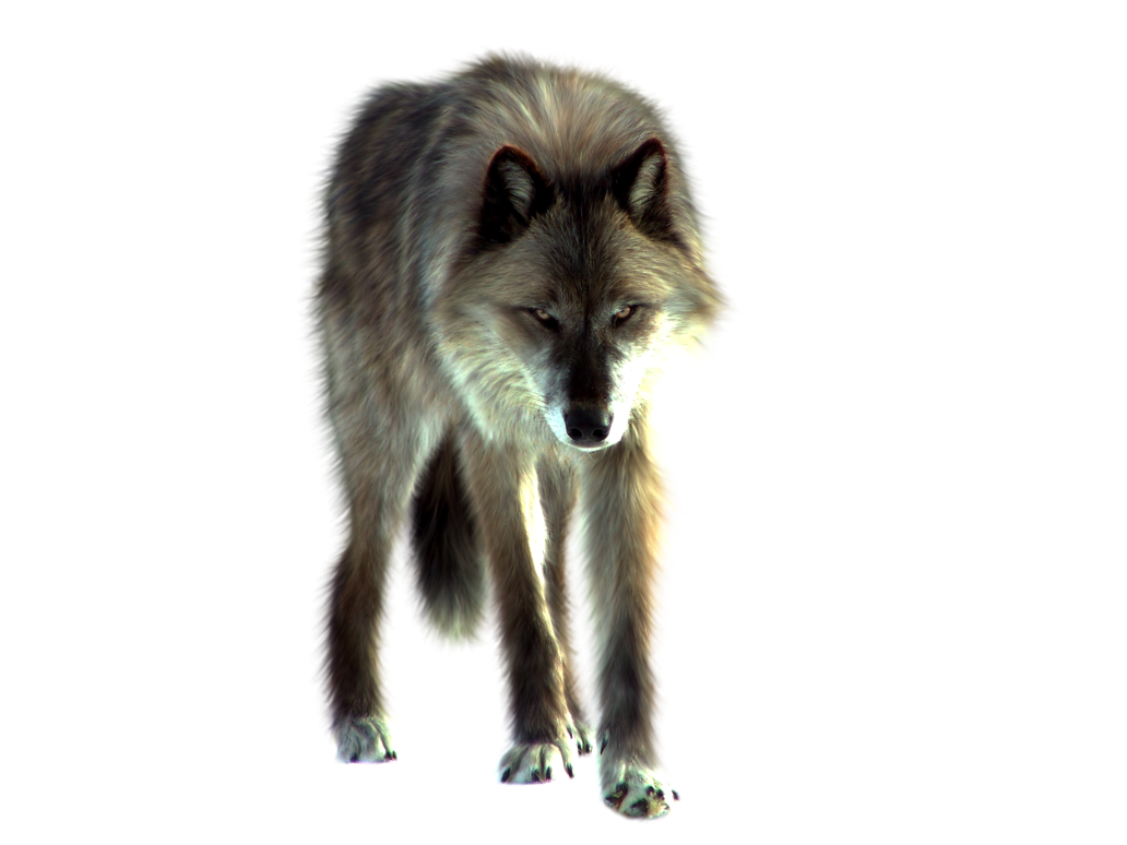 PNG Wolf by ITSDura PlusPng.com  - PNG Lobo
